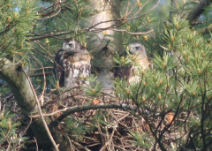 Two Redtail Hawks