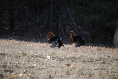 Wild Turkeys @ the Farm in Smithboro, NY