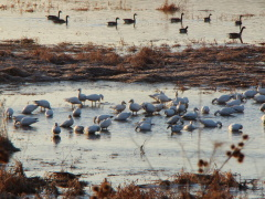 White Geese Make trek back