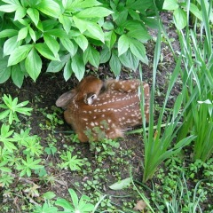 Newborn Fawn in Owego