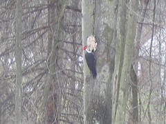 Pileated Woodpecker on suet in Apalachin