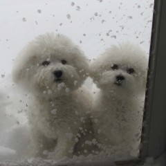 Bichon's in the snow