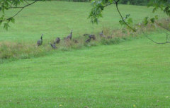 Rainy Day For Wild Turkeys
