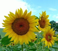 Sunflower Brilliance!!!