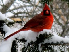 Beautiful cardinal enjoying winter