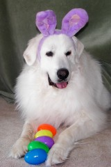Great Pyrenees become Easter bunny!