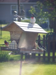 Grosbeaks are here to stay!