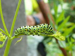 Summer Caterpillar