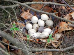 partridge eggs