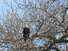 Bald Eagle spotted in Elmira