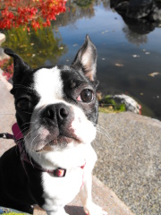 Boston Terrier LOVE!!