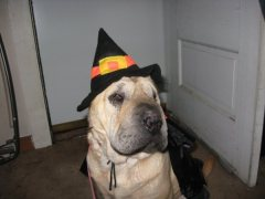 Mushu my Shar Pei waiting for Halloween