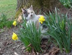 Dusty in the Daffodils