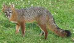 fox country wildlife