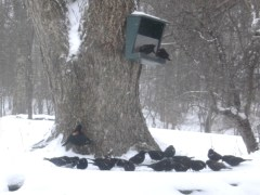 Invasion of redwing black birds