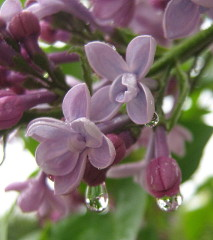 Lilacs in the Rain