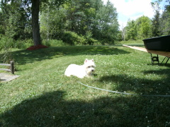 My Westie the sun worshiper