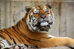 Amur Tiger at Ross Park Zoo