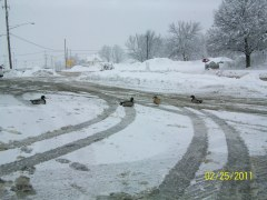 Ducks wander into Dandy parking lot.