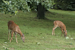 Deer return to Owego neighborhood