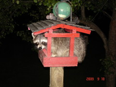 raccoon busted