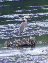 Great Blue Heron waiting on river drift