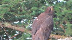 Eaglet on his own