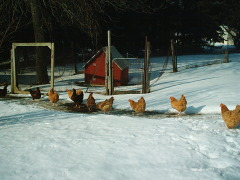 Chickens enjoying a sunny day in winter