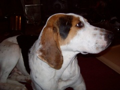 Missing Walker Coon Hound