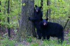 The bears were posing for the camera