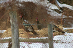 Elusive Wild Turkeys Captured