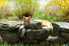 Cat on a Stone Wall