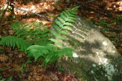 Fern, shadow, and rock.