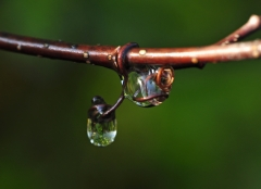 Grape Vine Dew Drops