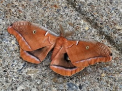 Moth as big as your hand!