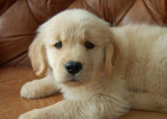 A new little Golden Retriever~~