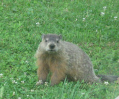Woodchuck Having A Bad Hair Day!